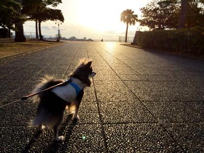 夕方散歩する犬