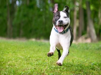 笑顔で走るピットブル