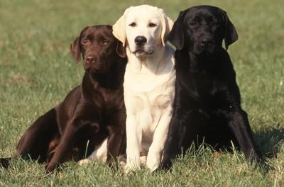 三匹のラブラドールレトリバー