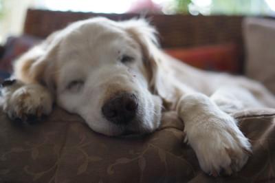 ソファーで寝ている老犬