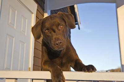 玄関でお出迎えする犬