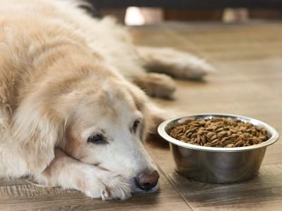 伏せてごはんを食べない犬