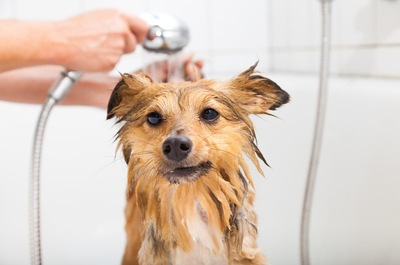 浴室でシャワーを浴びて濡れている犬
