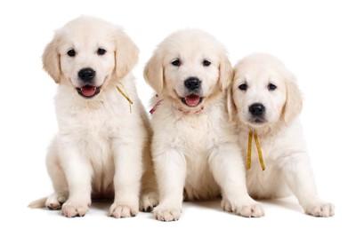 並んで座る三匹の子犬