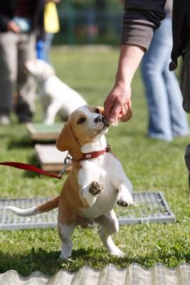 グループ訓練中のビーグルの子犬