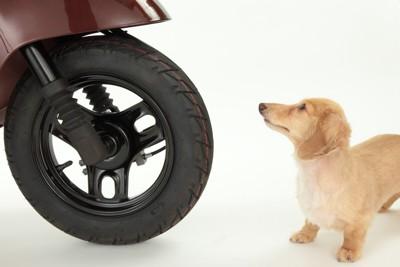 バイクに轢かれそうな犬