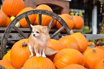 かぼちゃに乗る犬
