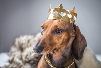 王冠をかぶったダックスフント