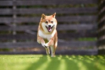 うれしそうに走ってくる柴犬