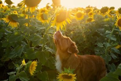 ひまわりのにおいを嗅ぐ犬