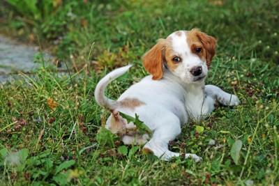 芝生の上で寝転がる犬