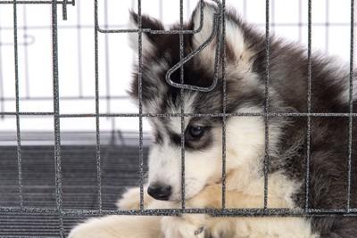 下を向いているシベリアンハスキーの子犬