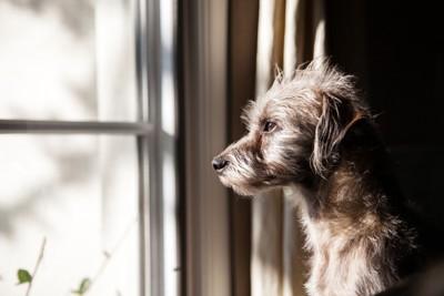 窓の外を眺めるグレーの犬