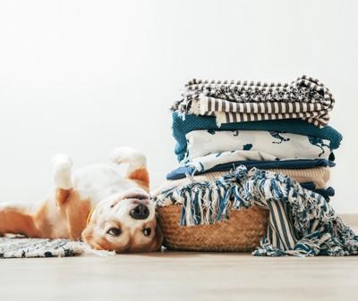 洗濯物と仰向けのビーグル