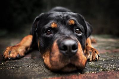 伏せて見つめてくる犬