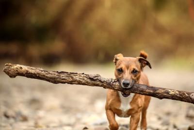 大きな枝をくわえる茶色の小型犬