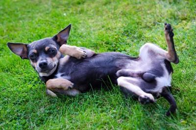 芝生の上でひっくり返る犬