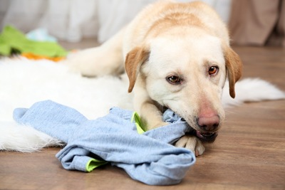 服を噛む犬