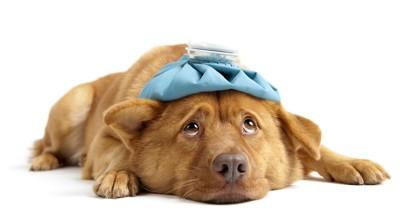 氷嚢を頭にのせて伏せている犬