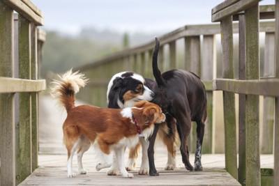 二頭で黒の犬のおしりを嗅ぐ