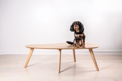 ローテーブルの上に居座る犬