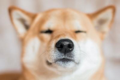 目をつぶっている柴犬の顔アップ