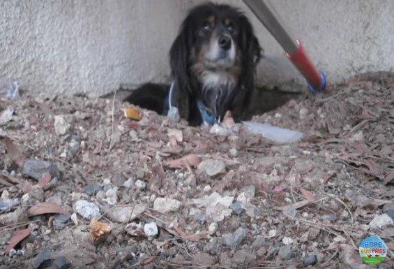棒の先のワイヤループの接近におびえる犬