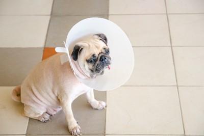 エリザベスカラーを付けた犬