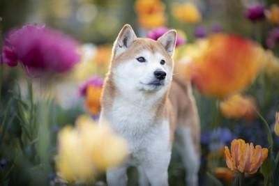 花に囲まれた柴犬