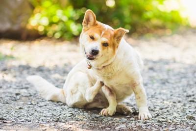 体を掻く犬