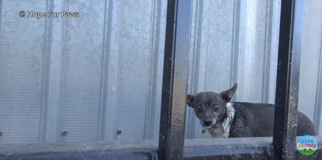 フェンス越しに見つめる犬