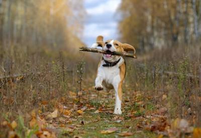木の枝をくわえてはしゃぐビーグル犬