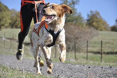 ハーネスをつけて走っている犬