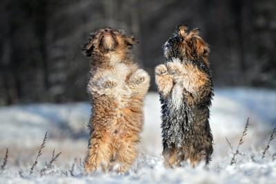 雪の上で並んで立ち上がる二頭の犬