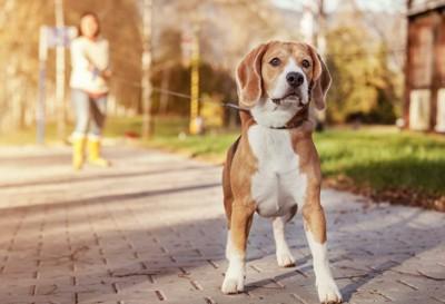 ロングリードで散歩するビーグル犬