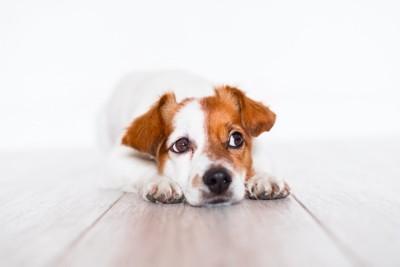 不安そうに床に伏せる犬