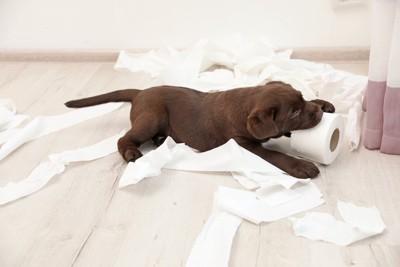 トイレットペーパーを噛む子犬
