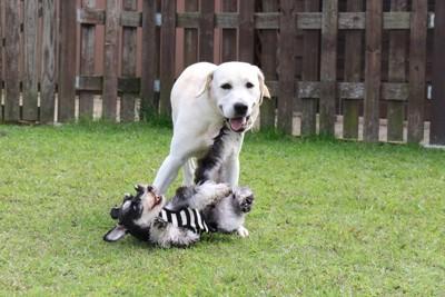 じゃれ合っている2匹の犬