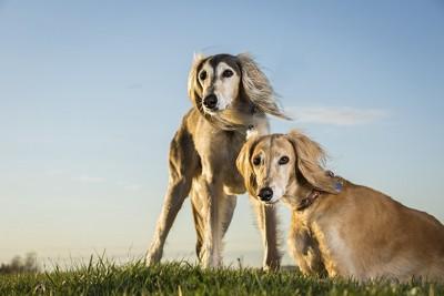 風に吹かれて寄り添う二頭のサルーキ