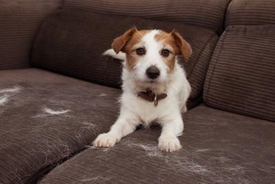 ソファーに犬と抜け毛