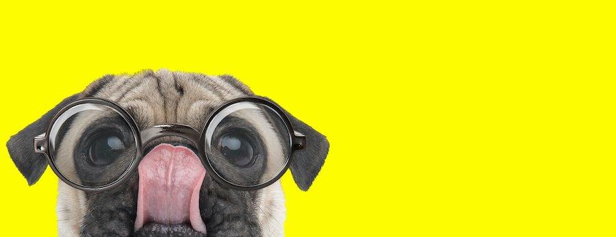 鼻を舐める眼鏡をかけたパグ