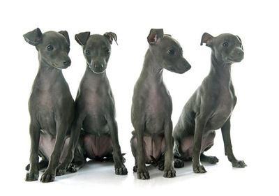 おすわりする4匹のイタリアングレーハウンドの幼犬