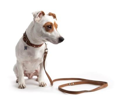 リードを付けている犬