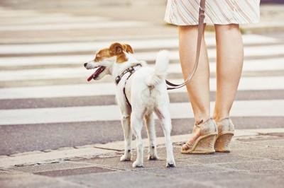 横断歩道、待つ犬と女性の足元