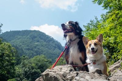 岩に乗って景色を見るバーニーズとコーギー