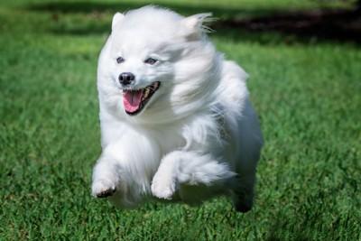芝生を走ってる白い犬
