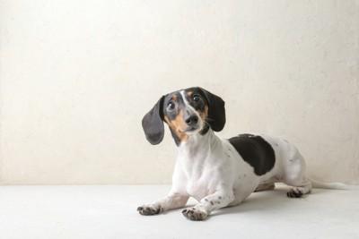 黒い大きな垂れ耳を持つ犬、伏せている