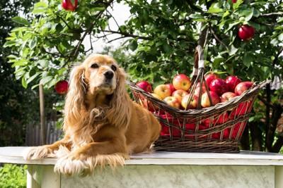犬とりんご