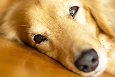 横たわっている犬の顔アップ