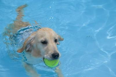 ボールを咥えてプールで泳ぐ犬